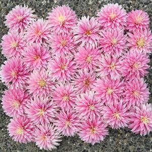 Flirty Fleurs Dahlias - Alloway Candy Dahlias - Pink Dahlia Tubers