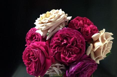 Falstaff - David Austin Roses Koko Loko - Weeks Roses