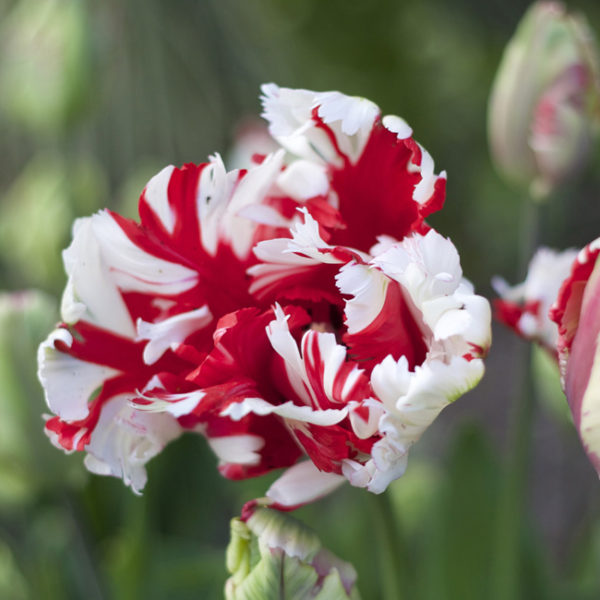 Estella Rijnveld Red and White Parrot Tulips from Longfield Gardens