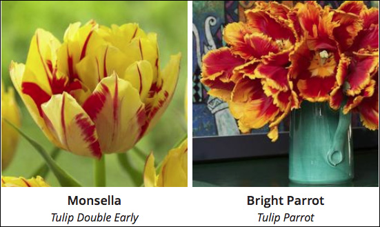 Monsella and Bright Parrot Tulips