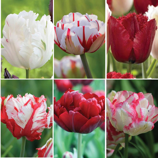 flirty fleurs and longfield garden tulip collection