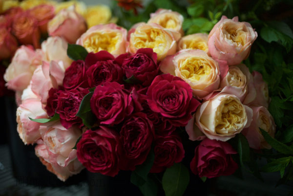 Princess Aiko, David Austin Darcey & Edith - Alexandra Roses Via Garden Roses Direct