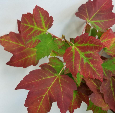 Red Maple Leaves Mayesh