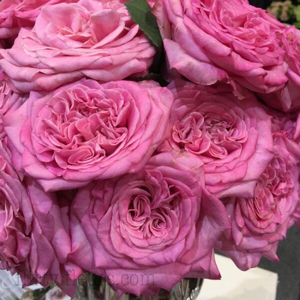 Ashley Garden Rose from Alexandra Farms