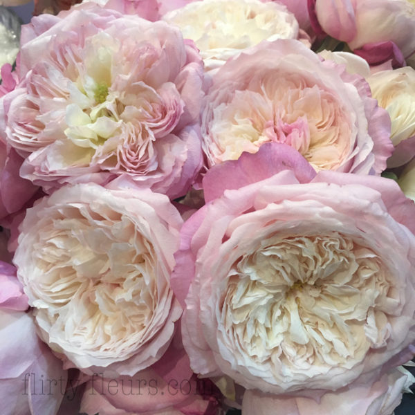 Constance Garden Roses by David Austin