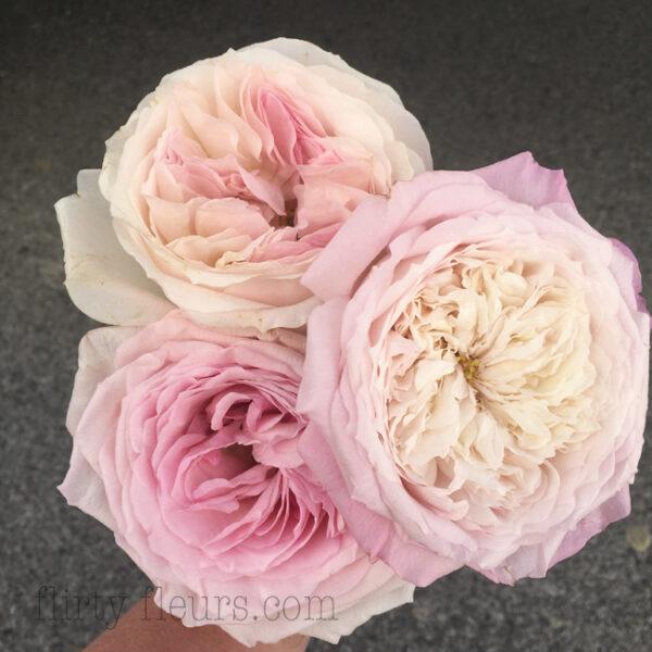 Pink Garden Roses, David Austin Kiera and Constance, Pink O'hara
