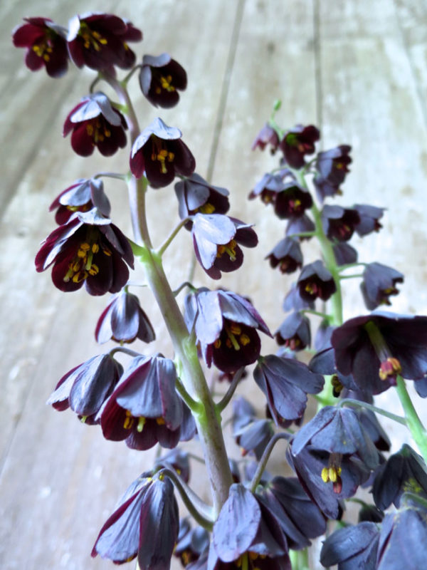 Here Michael of Trout Lily Farm shares how the Fritillaria Persica appears when ready to pick.