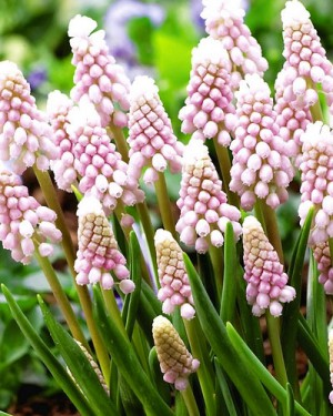 The Many Colors of Muscari