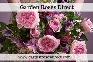 Garden Roses Wholesale