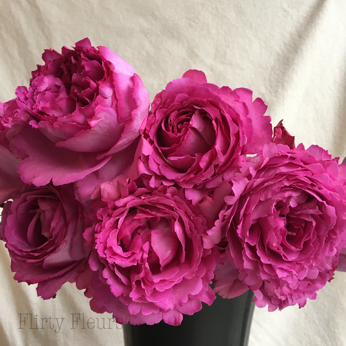 Yves Piaget garden roses by Alexandra Roses, photographed by Flirty Fleurs
