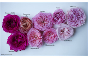 colors of pink roses