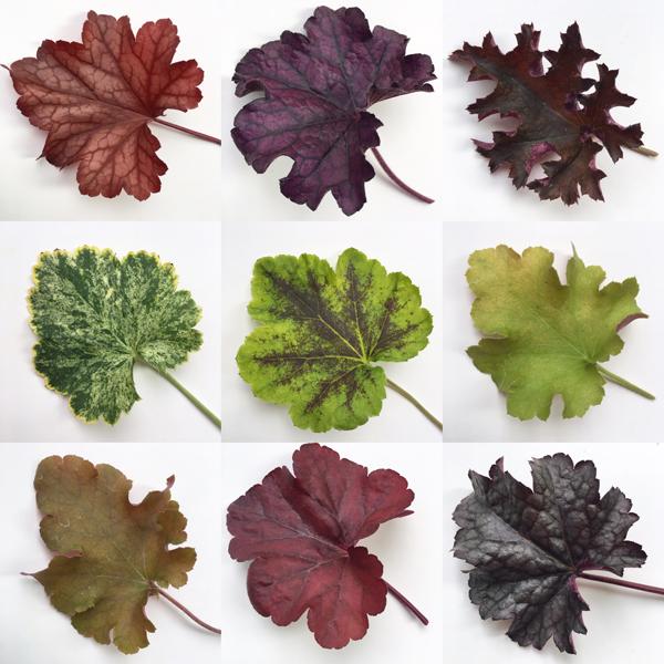 Varieties of Heuchera Leaves via Flirty Fleurs Blog