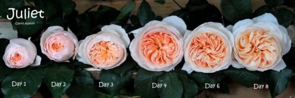 Juliet Garden Roses, a peach rose by David Austin and grown by Alexandra Farms