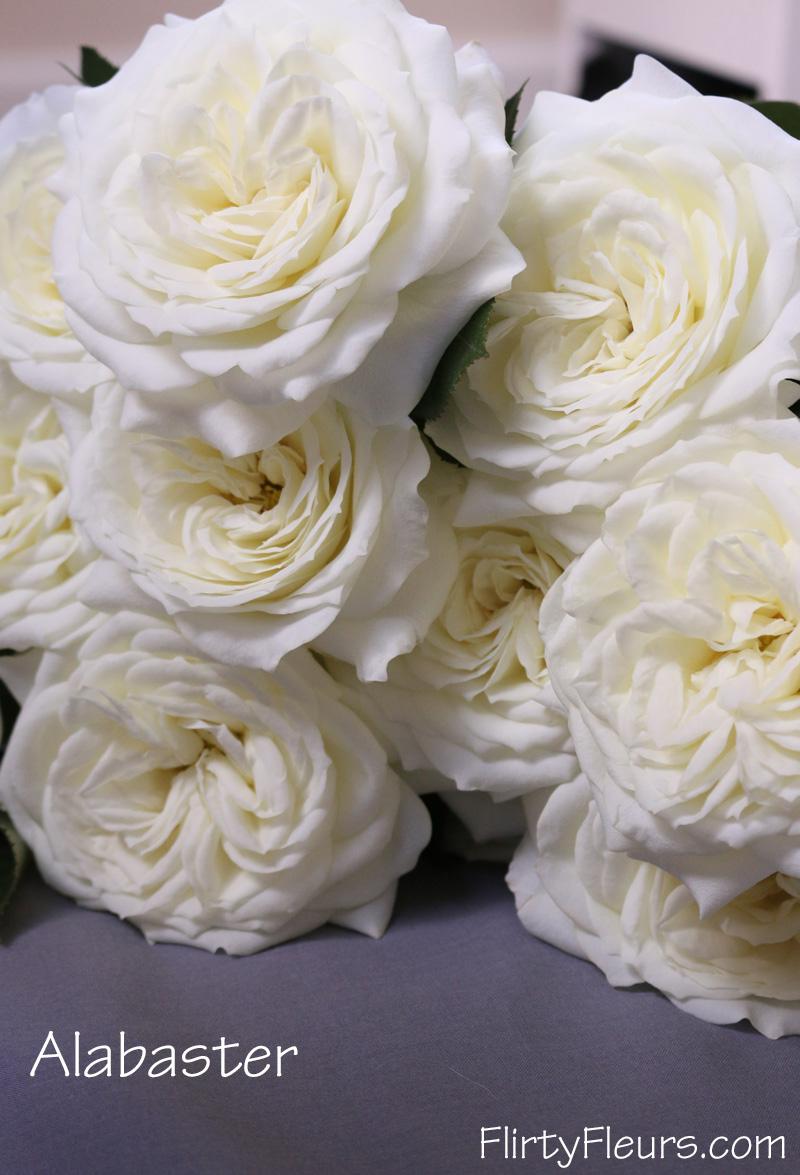 Superbe Flirty Fleurs Rose Study   Alexanda Garden Roses   Alabaster White Rose