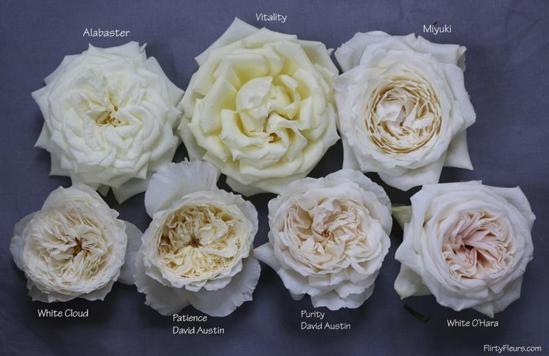 Flirty Fleurs Rose Study   Alexanda Garden Roses   White Garden Rose Study