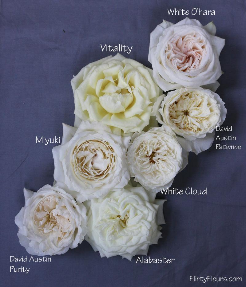 Bon Flirty Fleurs Rose Study   Alexanda Garden Roses   White Garden Rose Study