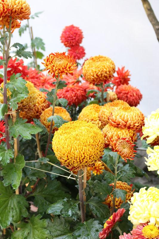 Lan Su Chinese Garden, Portland, Oregon - Chrysanthemum potted plants on display