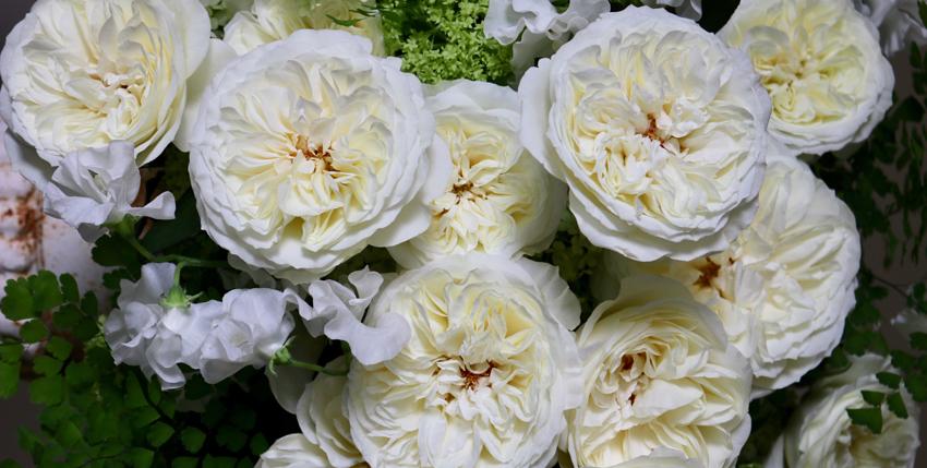Leonora White Garden Rose by David Austin