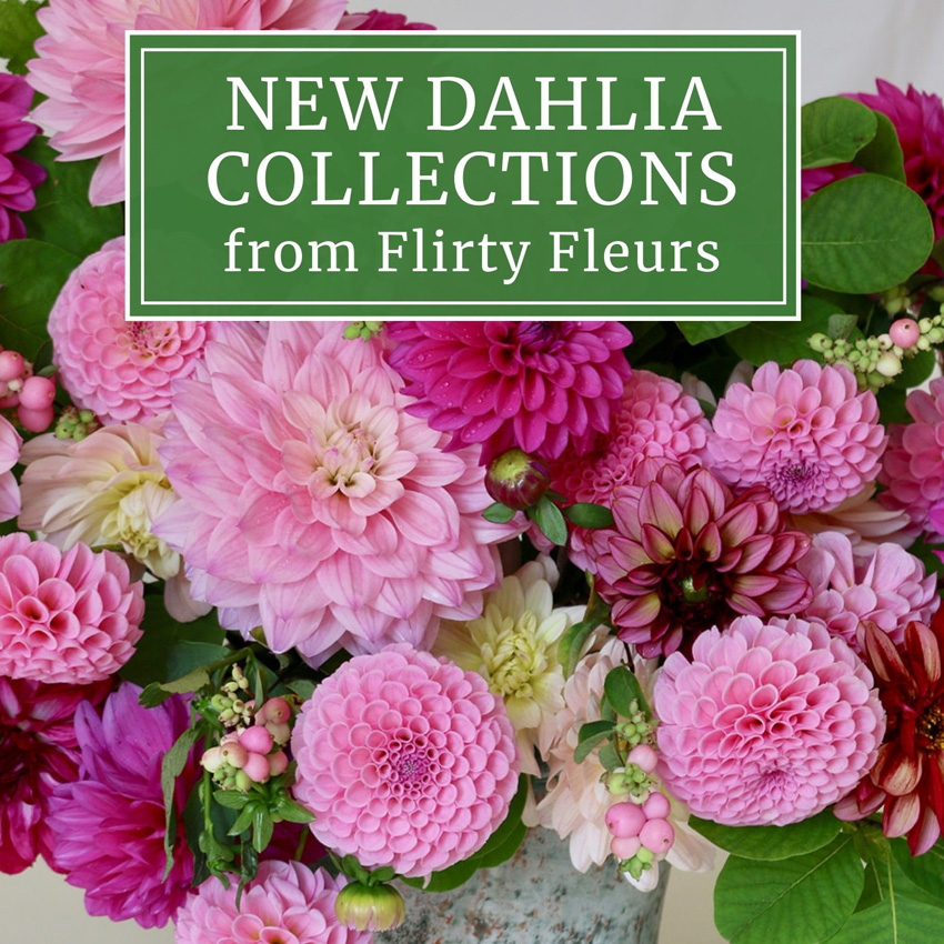 New Dahlias Collections from Flirty Fleurs and Longfield Gardens